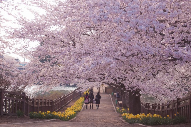 Imagen: Cuando florecen los cerezos en Sapporo, Japón